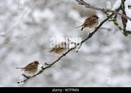 Eurasischen Baum Spatzen (Passer montanus) auf der linken und der Haussperling (Passer domesticus) männlichen auf Zweig mit Schnee, Vogesen, Frankreich, Januar - Stockfoto