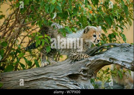 Gepard (Acinonyx jubatus) Cub zu Fuß auf Zweig, Masai-Mara Game Reserve, Kenia. Gefährdete Arten. - Stockfoto