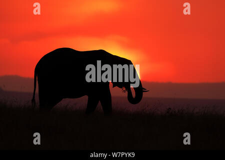 Afrikanischer Elefant (Loxodonta africana) gegen die untergehende Sonne. Masai Mara, Kenia, Afrika, August. - Stockfoto