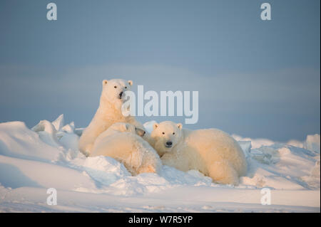 Eisbär (Ursus maritimus) sow Krankenpflege ihre Kinder Jungen auf dem neu gefroren Packeis, Beaufort Meer, aus der 1002 der Arctic National Wildlife Refuge, Nordhang, Alaska - Stockfoto