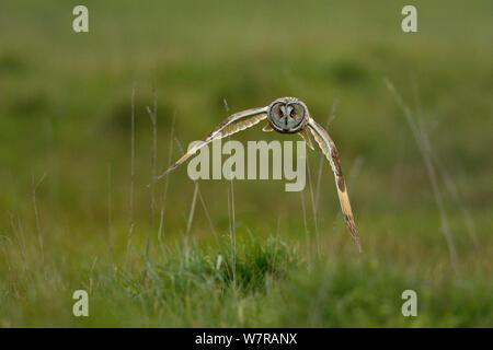 Waldohreule (Asio otus) fliegen tief über Bretonischen Sumpf, West Frankreich, April - Stockfoto