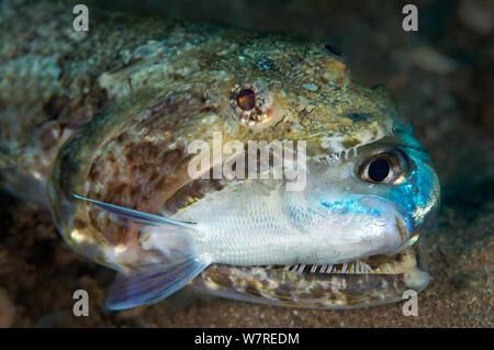 Lizardfish (Synodus synodus) Essen eine riffbarsche. Gran Canaria, Kanarische Inseln, Spanien. Osten Atlantik. - Stockfoto