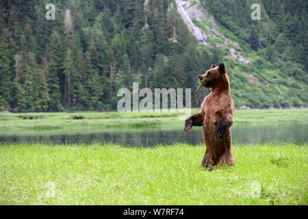 Weibliche Grizzlybär (Ursus arctos Horribilis) stehend in und um das Suchen, während der Fütterung auf Segge, Das Khutzeymateen Grizzly Bär Heiligtum, British Columbia, Kanada, Juni. - Stockfoto