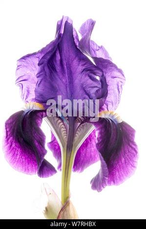Twin-blühenden Schwertlilie (Iris bicapitata) in Blüte in der Nähe von Monte St. Angelo, Gargano, Italien. April. Meetyourneighbors.net Projekt - Stockfoto