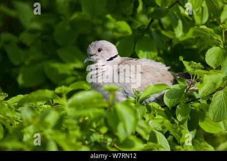 Eurasian Collared dove (Streptopelia decaocto) in kleinen Busch gehockt, Vogelpark Marlow, Deutschland. Mai - Stockfoto