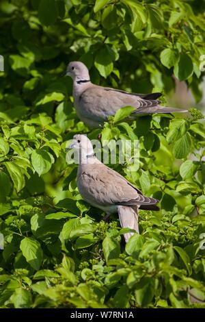 Eurasian Collared dove (Streptopelia decaocto) Paar in einem kleinen Busch gehockt, Vogelpark Marlow, Deutschland. Mai - Stockfoto