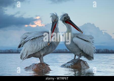 Krauskopfpelikan (Pelecanus crispus) Pelikane ruht auf Felsen und ihr Gefieder putzen. See Kerkini, Griechenland. Februar - Stockfoto