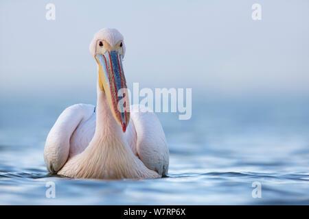 Eastern White Pelican (Pelecanus onocrotalus) Portrait auf See, der See Kerkini, Griechenland. Februar - Stockfoto