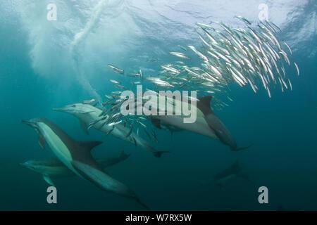 Gemeinsame dolphin (Dephinus delphis) pod Fütterung auf Sardinen (Sardinops oecllata) Port St Johns, Transkei, Südafrika. - Stockfoto