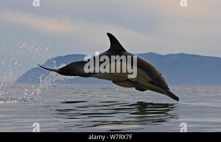 Gemeinsamen Delphin (Dephinus Delphis) Porpoising, False Bay, Cape Town, Südafrika. - Stockfoto