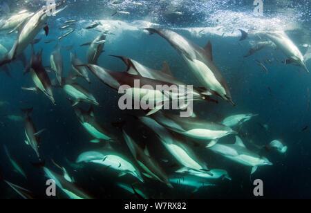 Gemeinsame dolphin (Dephinus delphis) pod Fütterung auf Sardinen (Sardinops oecllata) East London, Südafrika. - Stockfoto