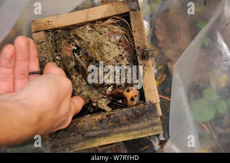 Nach Gemeinsamen/Haselmaus (Muscardinus avellanarius) während einer Umfrage Backwell Umgebung Vertrauen in Coppiced Waldgebiet in der Nähe von Bristol gefangen, angeregt von einem nistkasten vorübergehend in einem Plastiksack, Somerset, Großbritannien, Oktober platziert. Model Released. - Stockfoto