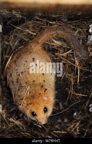 Nach Gemeinsamen/Haselmaus (Muscardinus avellanarius), mit guten Winter Fettreserven, in einem Nest, während eine Umfrage in Coppiced Waldgebiet in der Nähe von Bristol, Somerset, Großbritannien, Oktober gefunden. Nicht-ex. - Stockfoto