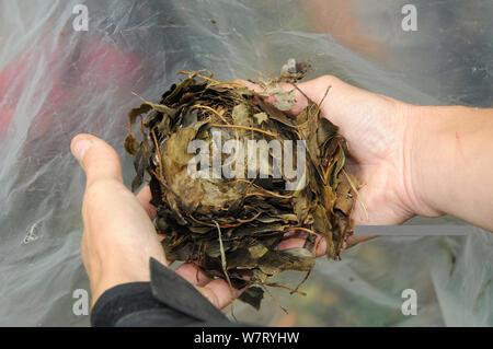 Nest von Common/Haselmaus (Muscardinus avellanarius) vorübergehend vom Nest entfernt, in Händen während einer Umfrage Backwell Umgebung Vertrauen in Coppiced Waldgebiet in der Nähe von Bristol, Somerset, Großbritannien, Oktober statt. Model Released. - Stockfoto