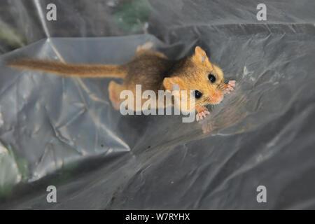 Junge Common/Haselmaus (Muscardinus avellanarius) während einer Umfrage Backwell Umgebung Vertrauen in Coppiced Waldgebiet in der Nähe von Bristol gefangen und vorübergehend in einem Plastiksack, Somerset, Großbritannien, Oktober statt. - Stockfoto