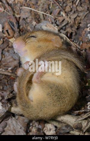 Trägen Common/Haselmaus (Muscardinus avellanarius) gefunden Schlafen in einem siebenschläfer Nistkasten von backwell Umgebung Vertrauen in Coppiced Waldgebiet in der Nähe von Bristol, Somerset, UK, Juni gesetzt. - Stockfoto