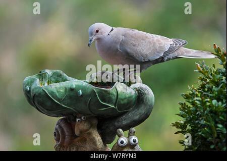 Eurasian collared dove (Streptopelia decaocto) Trinkwasser aus vogelbad im Garten, Belgien, April. - Stockfoto