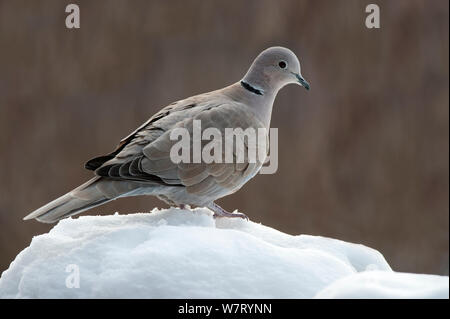 Eurasian collared dove (Streptopelia decaocto) im Schnee im Winter, Belgien, Januar thront. - Stockfoto