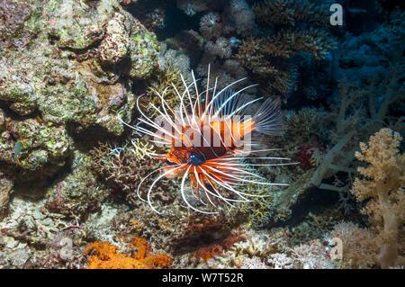 Clearfin / Radial Rotfeuerfische (Pterois radiata) Ägypten, Rotes Meer. - Stockfoto