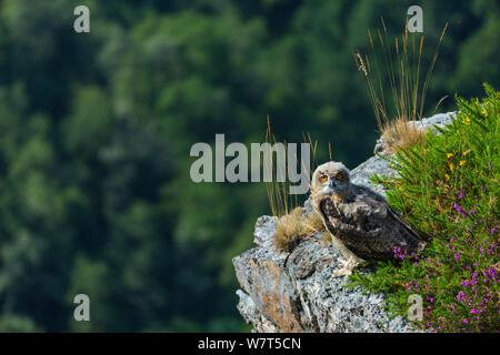 Uhu (Bubo bubo) Küken auf Felsen, Captive, Parque de la Naturaleza de Cabárceno Park, Kantabrien, Spanien, Juni. - Stockfoto