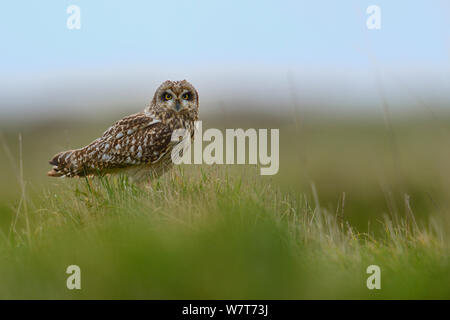 Short eared owl (Asio Flammeus), Marais Breton, Bretagne/Bretagne, Frankreich, April. - Stockfoto