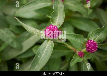 Magenta Blumen von Gomphrena nana Anlage - Stockfoto