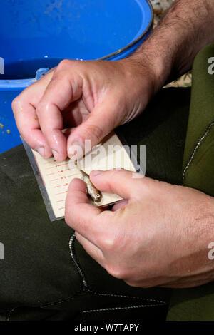 Wissenschaftler messen 3-Spined Stichlinge (Gasterosteus aculeatus) für die Biometrie Studie im Fluss Daro, Gavarres Natural Area, Katalonien, Spanien, Mai. - Stockfoto