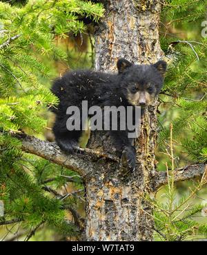 Zimt, Unterarten von Black Bear (Ursus americanus cinnamomum) Cub im Baum. Yellowstone National Park, Wyoming, USA, Mai. - Stockfoto