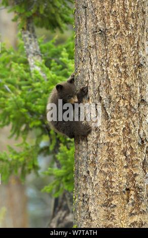 Zimt, Unterarten von Black Bear (Ursus americanus cinnamomum) cub Kletterbaum, Yellowstone National Park, Wyoming, USA, Mai. - Stockfoto