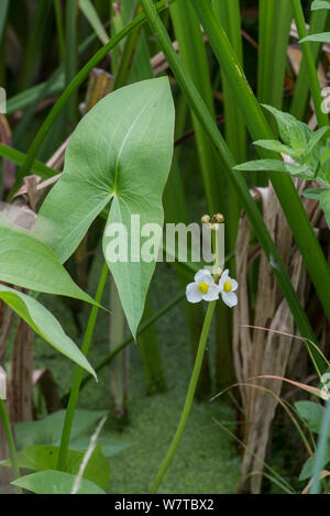 Pfeilspitze (Sagittaria sagittifolia) Surrey, England, UK, September. - Stockfoto