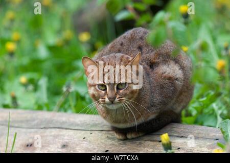 Rusty beschmutzte Katze (Felis rubiginosus phillipsi), Captive, beheimatet in Sri Lanka. - Stockfoto