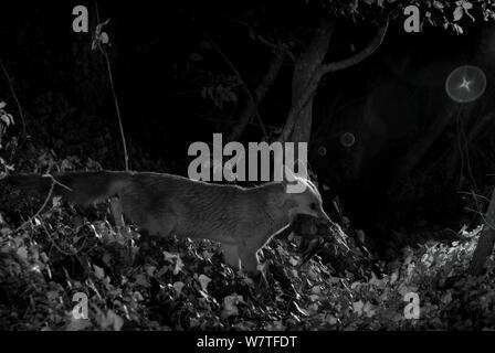 Red Fox (Vulpes vulpes) mit toten Wildes Kätzchen Beute, in der Nacht mit Infrarot Fernbedienung Kamera trap, Mayenne, Pays de Loire, Frankreich, Juli genommen. - Stockfoto