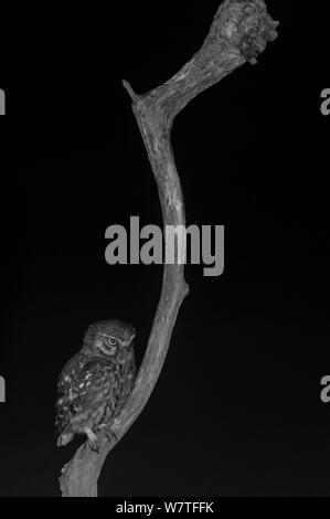Steinkauz (Athene noctua) auf Niederlassung in Garten, nachts genommen mit Infrarot Fernbedienung Kamera trap, Mayenne, Pays de Loire, Frankreich. - Stockfoto