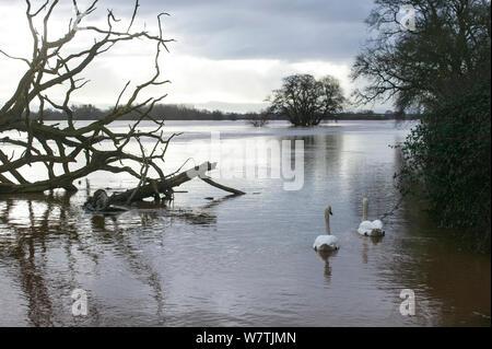 Höckerschwan (Cygnus olor) pair in überschwemmten landwirtschaftliche Flächen neben dem Fluss Severn, 10. Februar 2014. - Stockfoto