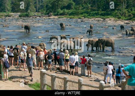 Touristen beobachten Sri Lankas Elefanten (Elephas Maximus Maximus) von Pinnawala Elefanten Waisenhaus baden in der Maha Oya Fluß, Teil einer Regelung, die von der Abteilung für Wildtiere Sri Lanka, Sri Lanka geführt. - Stockfoto