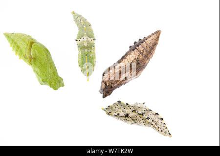 Schwalbenschwanz Schmetterling (Zygaena Filipendulae) vier verschiedene farbige chrysalises, Italien, Februar. Meetyourneighbors.net Projekt - Stockfoto