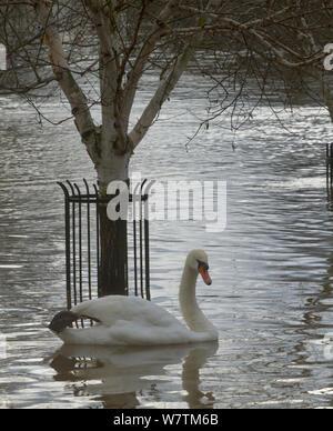Höckerschwan (Cygnus olor) Schwimmen durch Baum im Stadtzentrum im Februar Überschwemmungen 2014, Worcester, England, UK, 10. Februar 2014. - Stockfoto