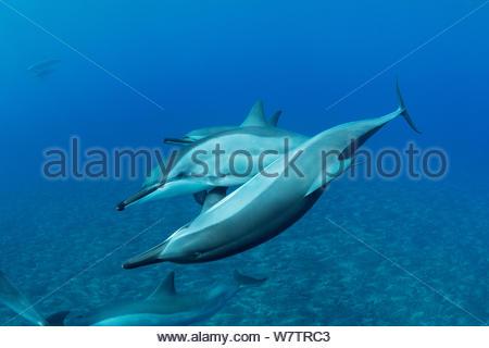 Hawaiian Spinner Delfine (Stenella longirostris longirostris) sozialisieren, aus kekaha Kai State Park, Mahaiula,Kona, Hawaii, zentralen Pazifischen Ozean. - Stockfoto