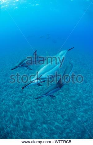 Hawaiian Spinner Delfine (Stenella longirostris longirostris) ist aus kekaha Kai State Park, Mahaiula,Kona, Hawaii, zentralen Pazifischen Ozean. - Stockfoto