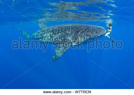 Mami LeMaster und Walhai (Firma IPCON typus) Kona Coast, Hawaii, Hawaii Inseln. Central Pacific Ocean. Model Released. - Stockfoto