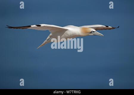 Northern Gannet (Morus bassanus) im Flug, Quebec, Kanada. - Stockfoto