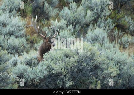 Wapiti (Cervus elaphus) männliche Beweidung, Yellowstone National Park, Wyoming, USA, September. - Stockfoto