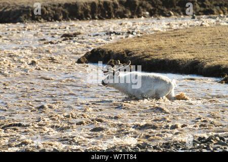 Rentiere (Rangifer tarandus), Stream, Longyearbyen, Spitzbergen, Svalbard, Norwegen, Europa - Stockfoto