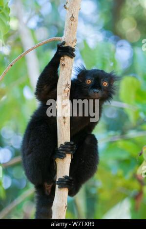 Black Lemur (Eulemur Macaco) männlich, Nosy Komba, Madagaskar - Stockfoto