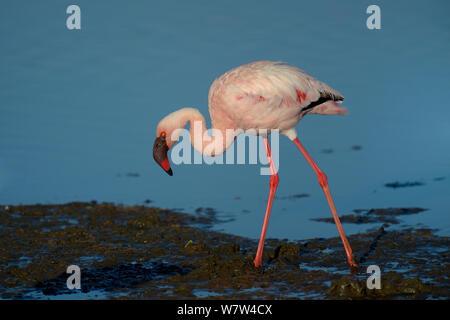 Lesser Flamingo (Phoenicopterus minor) Nakuru See NP, Kenia. - Stockfoto