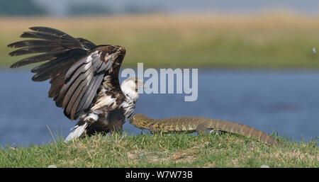 Juvenile African Fish Eagle (Haliaeetus vocifer) weg von einer Nil Waran (Varanus niloticus) Chobe River, Botswana, November. - Stockfoto