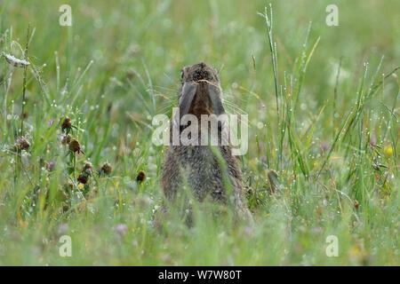 Feldhase (Lepus europaeus) Rückansicht, in Tau Gras, Vogesen, Frankreich, Juli. - Stockfoto