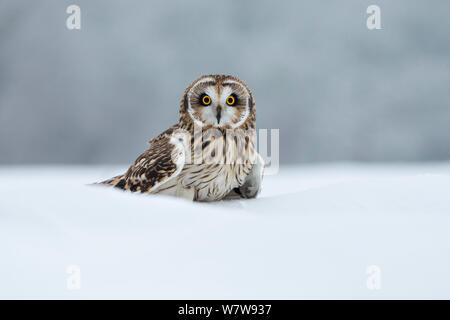 Short Eared Owl (Asio Flammeus) im Schnee, UK, Januar. Captive - Stockfoto