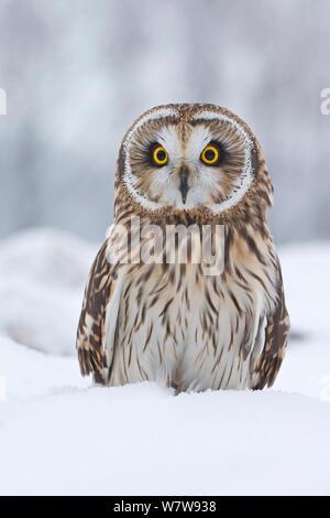 Short Eared Owl (Asio Flammeus) im Schnee, UK, Januar. Gefangen. - Stockfoto