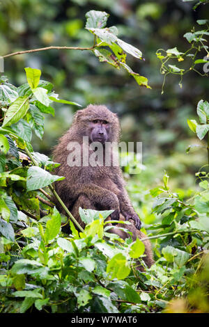 Olive baboon (papio Anubis) Harenna Wald. Bale Mountains Nationalpark, Äthiopien. - Stockfoto